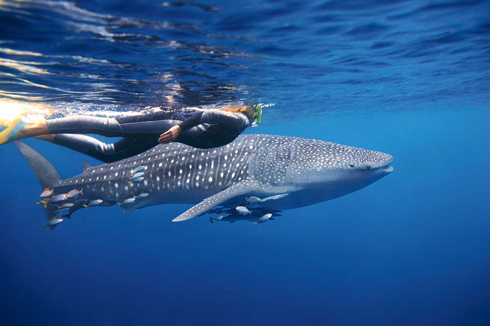 Lady scuba diving with whale sharks